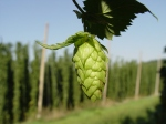 The majestic wet hop in its natural environment.